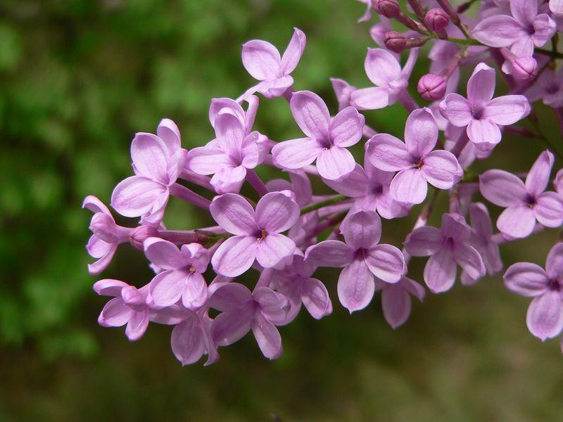 紫丁香(上)